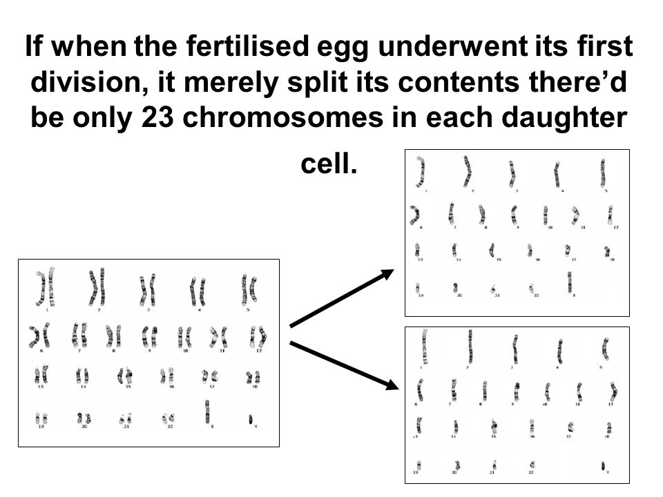 The human sperm has 23 chromosomes. The human egg (ova) has 23 chromosomes.