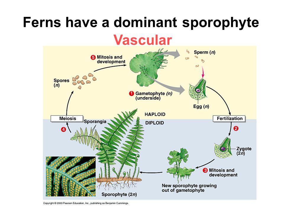 Ferns have a dominant sporophyte Vascular