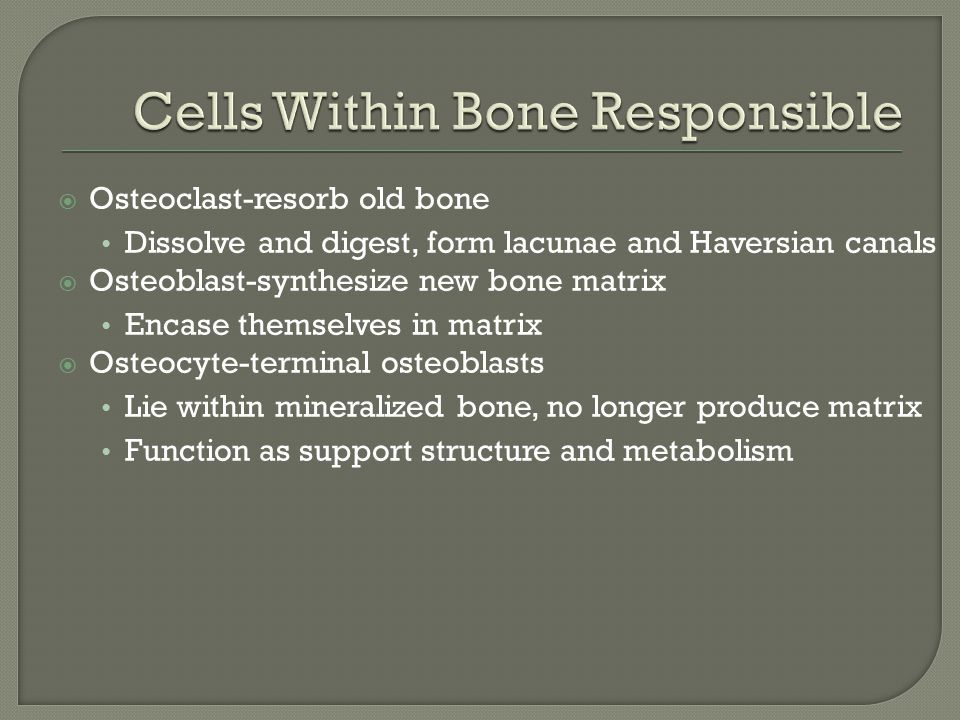  Osteoclast-resorb old bone Dissolve and digest, form lacunae and Haversian canals  Osteoblast-synthesize new bone matrix Encase themselves in matrix  Osteocyte-terminal osteoblasts Lie within mineralized bone, no longer produce matrix Function as support structure and metabolism