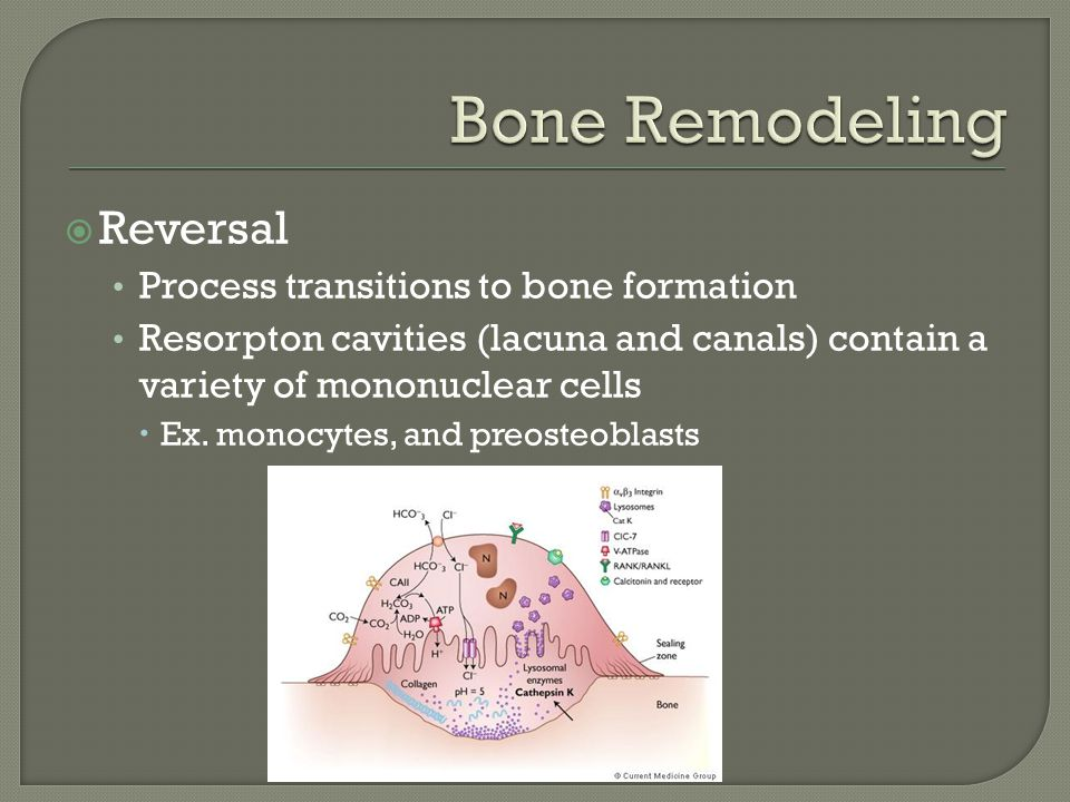  Formation Osteoblasts synthesize new collagenous matrix Encase themselves in their matrix Become osteocytes  Percentage undergo apoptosis and become bone lining cells
