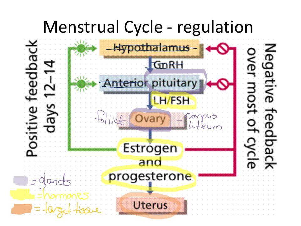 Menstrual Cycle - regulation