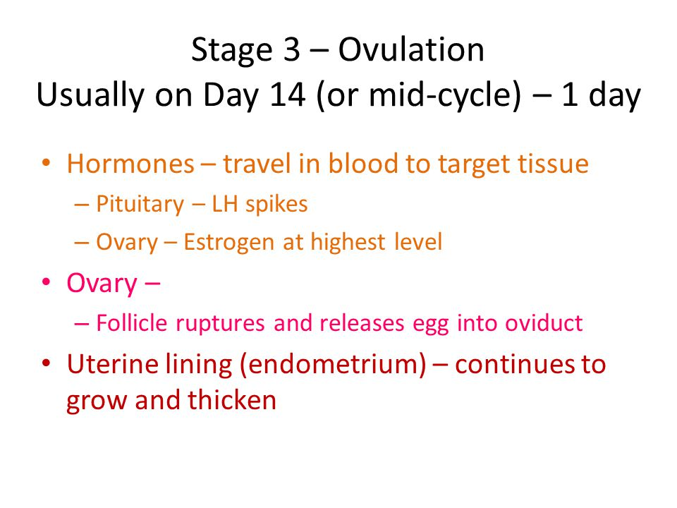 Stage 3 – Ovulation Usually on Day 14 (or mid-cycle) – 1 day Hormones – travel in blood to target tissue – Pituitary – LH spikes – Ovary – Estrogen at highest level Ovary – – Follicle ruptures and releases egg into oviduct Uterine lining (endometrium) – continues to grow and thicken