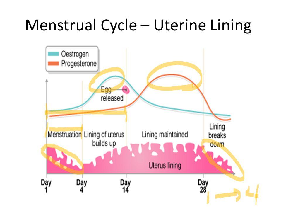Menstrual Cycle – Uterine Lining