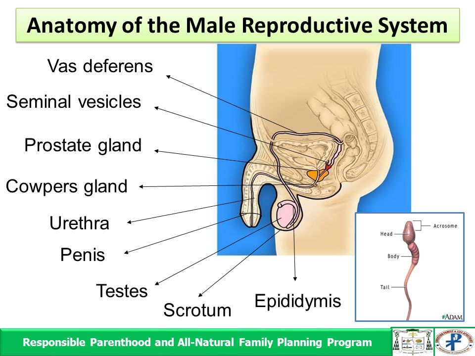 Responsible Parenthood and All-Natural Family Planning Program Responsible Parenthood and All-Natural Family Planning Program Scrotum Epididymis Teste
