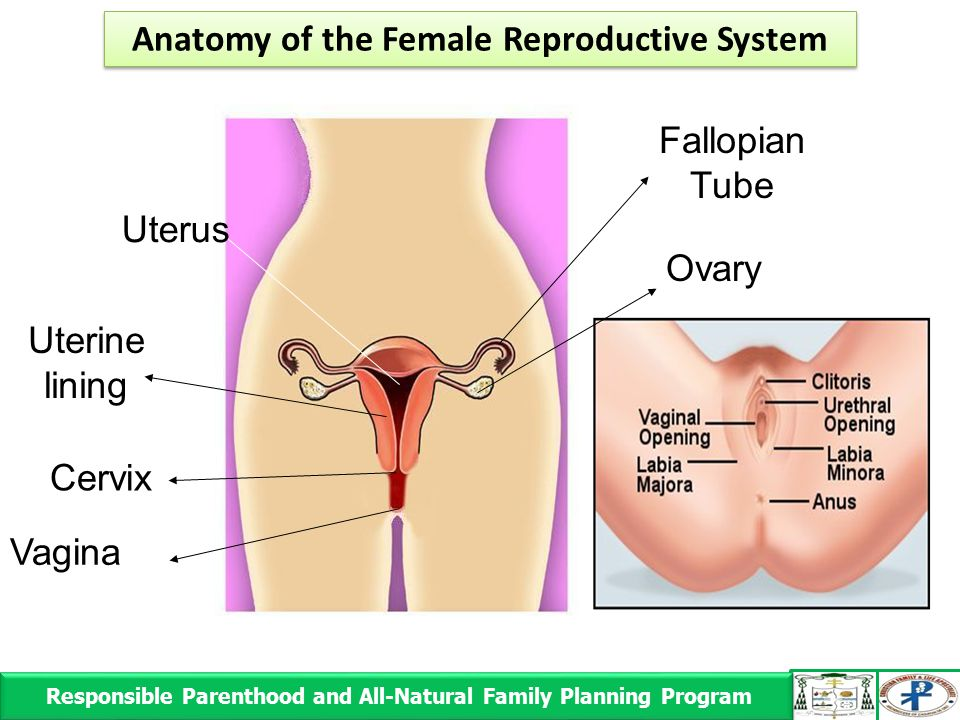 Responsible Parenthood and All-Natural Family Planning Program Responsible Parenthood and All-Natural Family Planning Program Ovary Uterus Uterine lining Cervix Vagina Fallopian Tube Anatomy of the Female Reproductive System