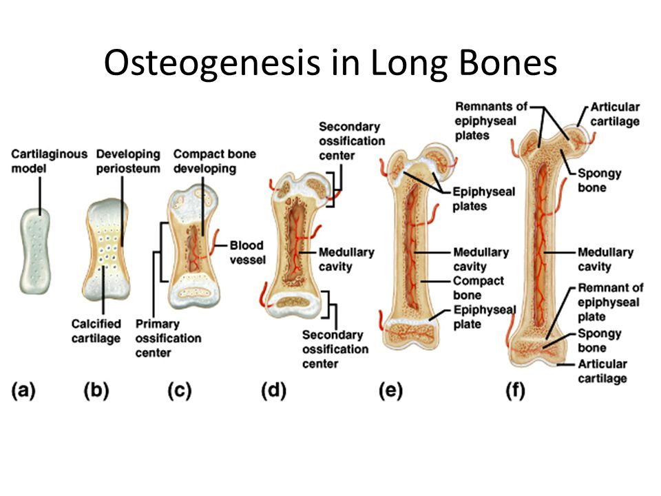 Factors Affecting Bone Development, Growth, and Repair Thyroxine – Hormone produced by the thyroid – Stimulates replacement of cartilage in the epiphyseal plate of long bones – Can halt bone growth by causing premature ossification of the epiphyseal plate or by not stimulating the pituitary gland to produce enough growth hormone
