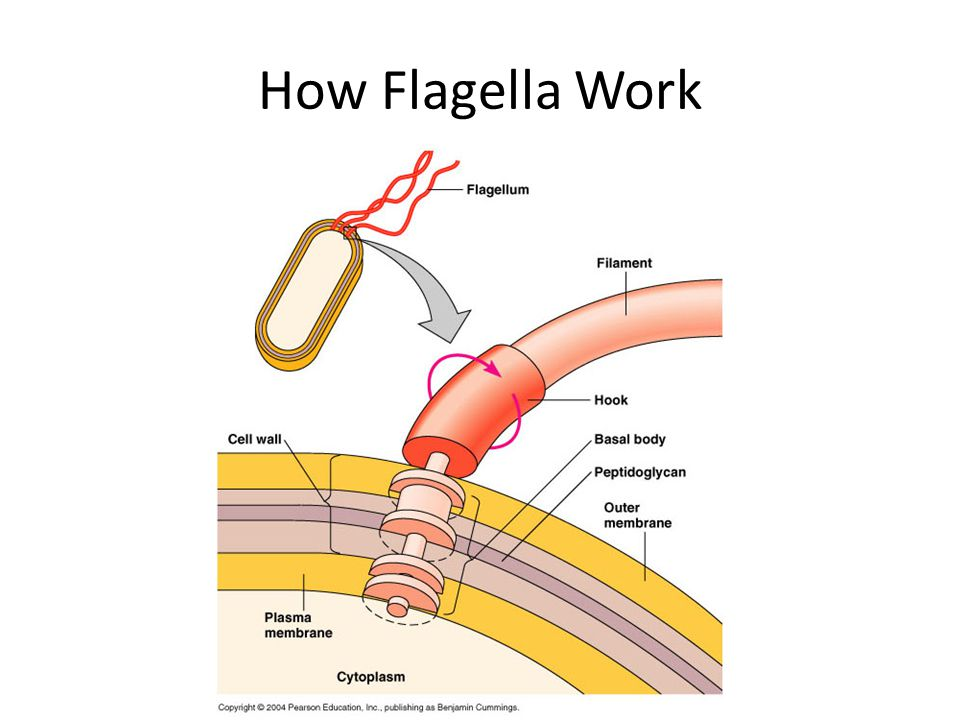 How Flagella Work