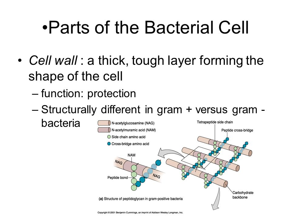 Parts of the Bacterial Cell Cell wall : a thick, tough layer forming the shape of the cell –function: protection –Structurally different in gram + versus gram - bacteria