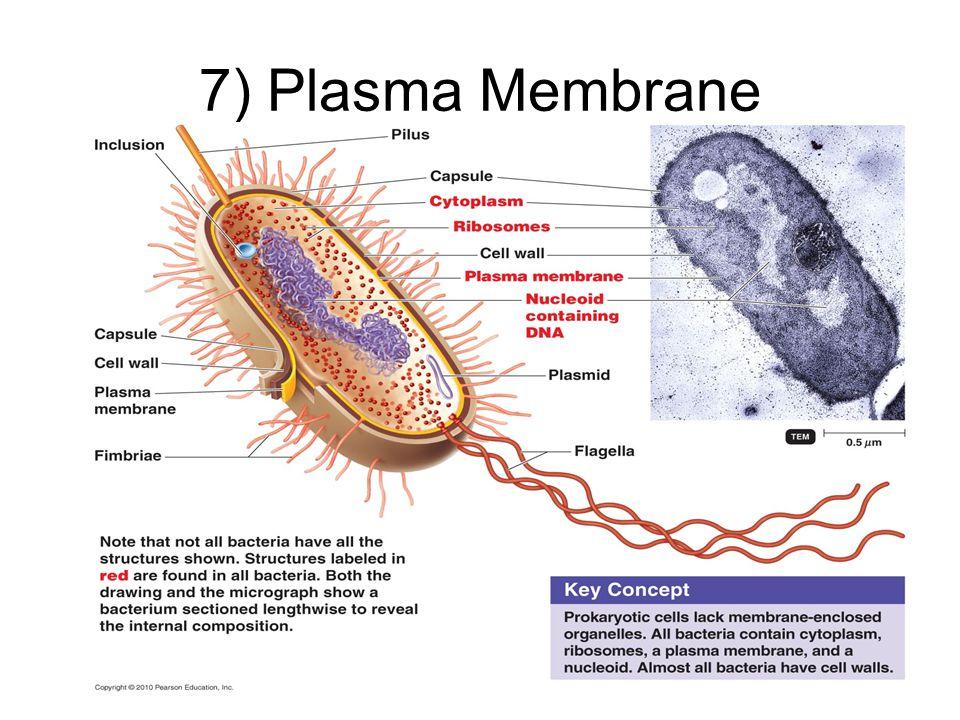 7) Plasma Membrane