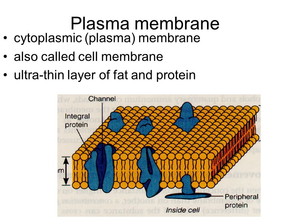 Plasma membrane cytoplasmic (plasma) membrane also called cell membrane ultra-thin layer of fat and protein