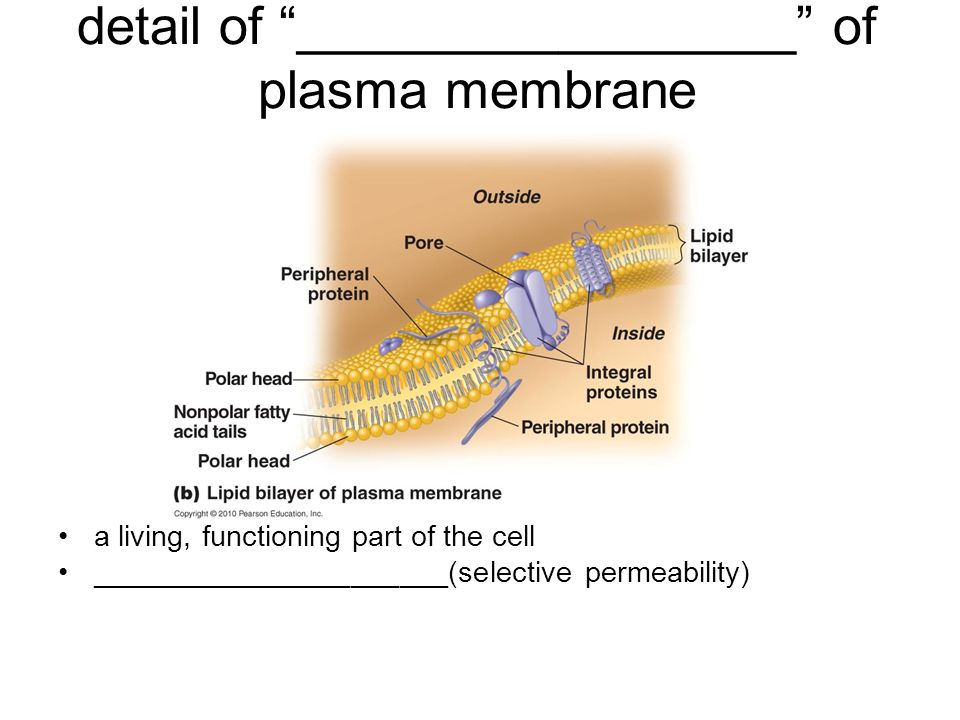 detail of _________________ of plasma membrane a living, functioning part of the cell ______________________(selective permeability)