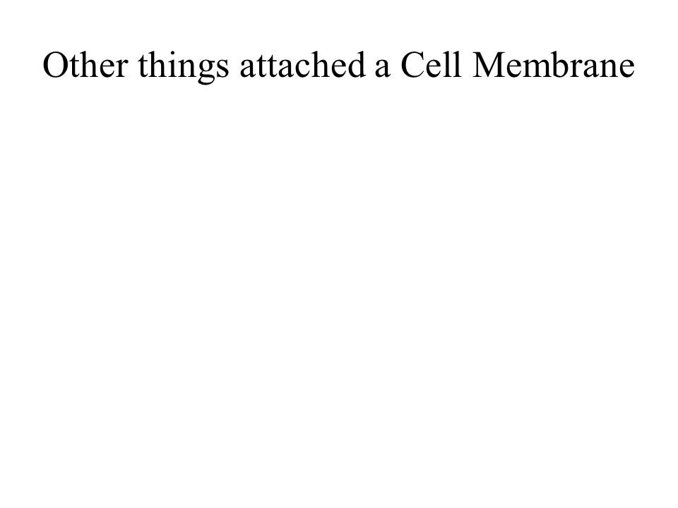 Other things attached a Cell Membrane