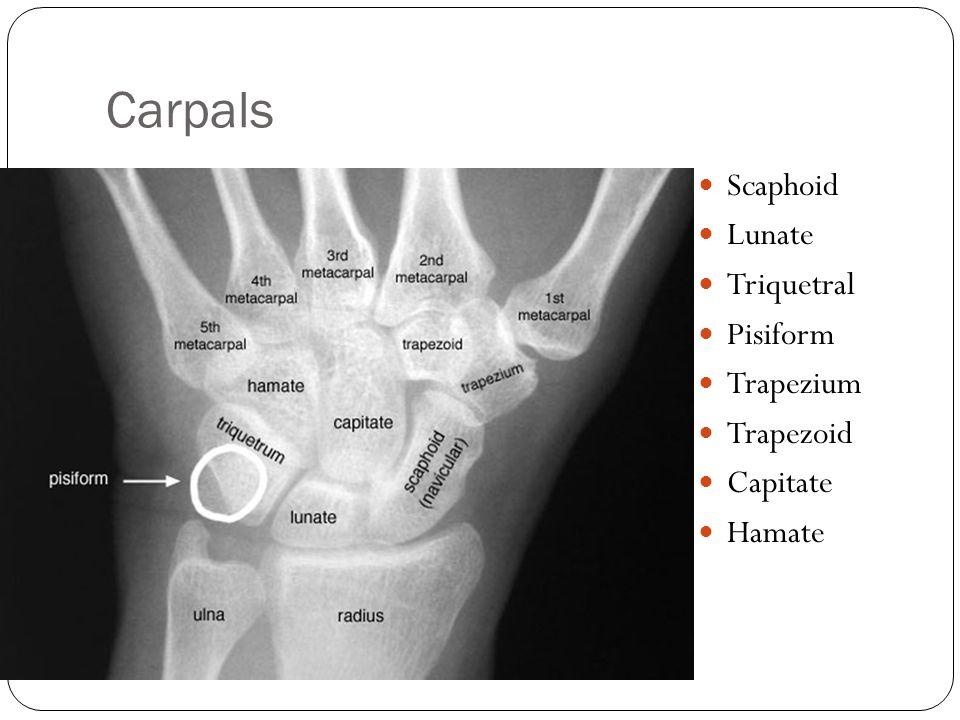Carpals Scaphoid Lunate Triquetral Pisiform Trapezium Trapezoid Capitate Hamate