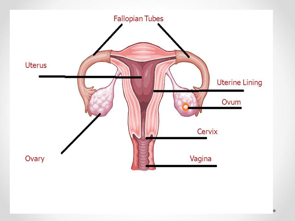 Vagina Cervix Ovum Uterine Lining Fallopian Tubes Uterus Ovary