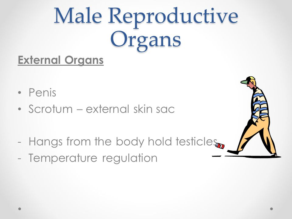 Male Reproductive Organs External Organs Penis Scrotum – external skin sac -Hangs from the body hold testicles -Temperature regulation