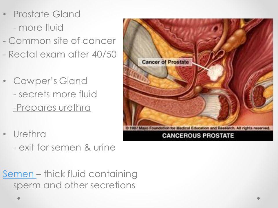 Prostate Gland - more fluid - Common site of cancer - Rectal exam after 40/50 Cowper's Gland - secrets more fluid -Prepares urethra Urethra - exit for