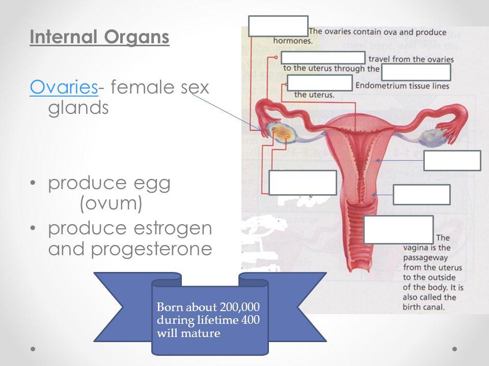 Internal Organs OvariesOvaries- female sex glands produce egg (ovum) produce estrogen and progesterone Born about 200,000 during lifetime 400 will mat
