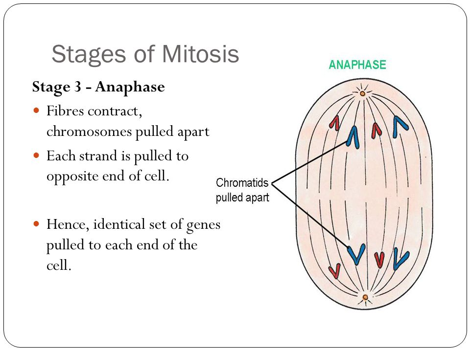 Stages of Mitosis Stage 3 - Anaphase Fibres contract, chromosomes pulled apart Each strand is pulled to opposite end of cell.
