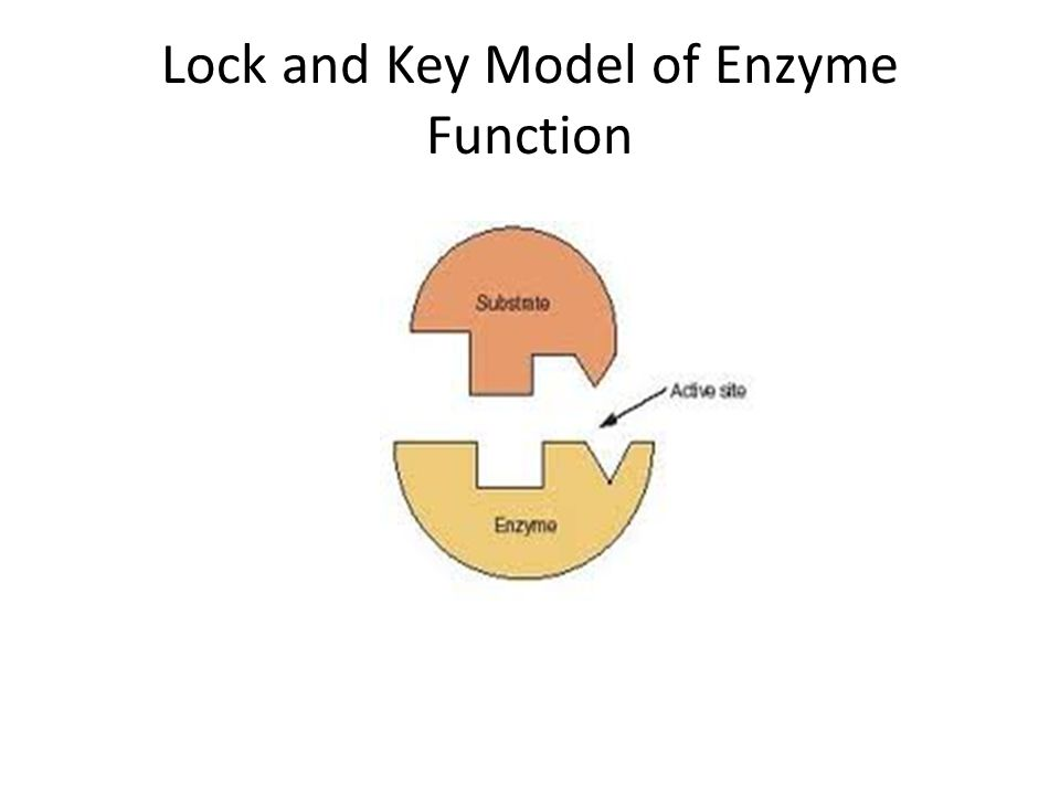 Lock and Key Model of Enzyme Function