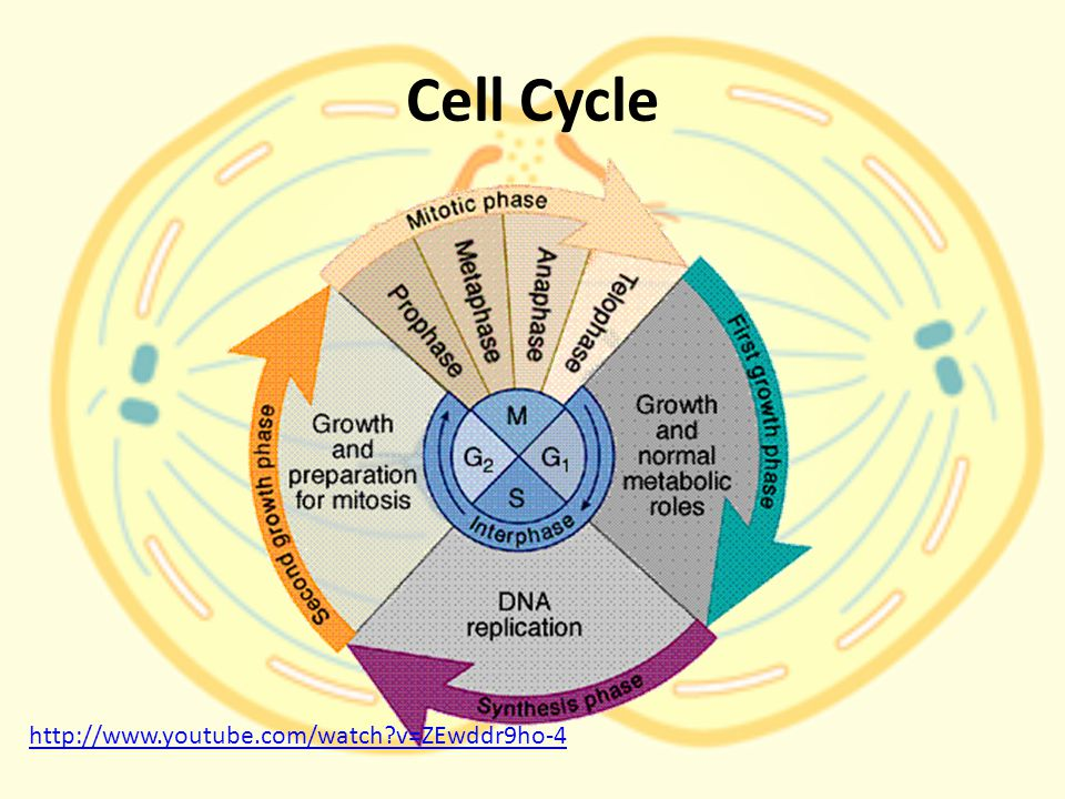 Cell Cycle http://www.youtube.com/watch v=ZEwddr9ho-4