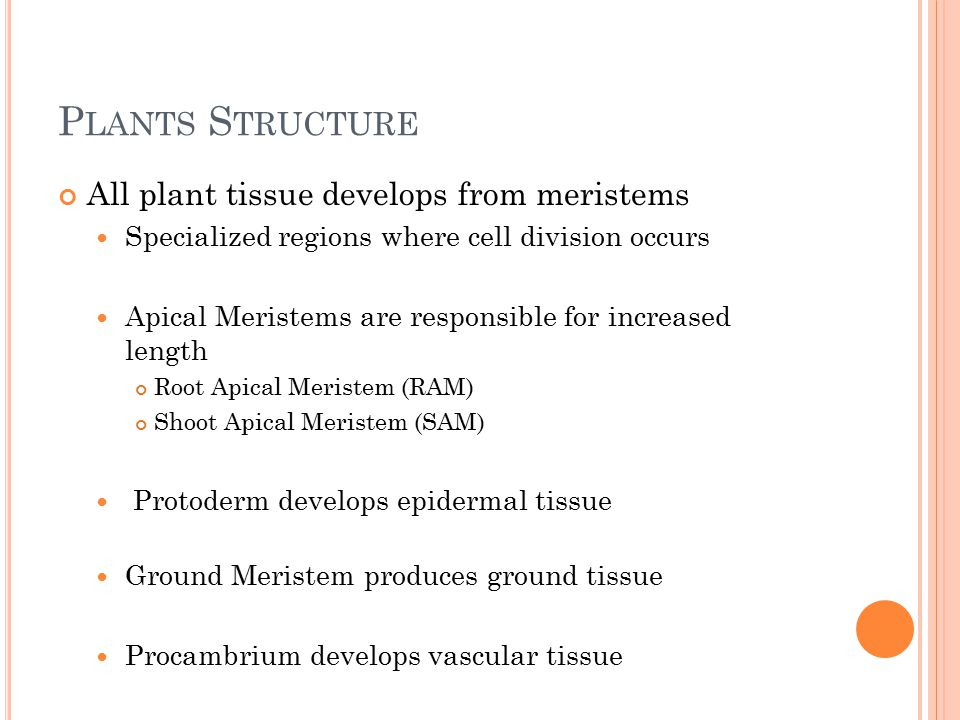 P LANTS S TRUCTURE All plant tissue develops from meristems Specialized regions where cell division occurs Apical Meristems are responsible for increased length Root Apical Meristem (RAM) Shoot Apical Meristem (SAM) Protoderm develops epidermal tissue Ground Meristem produces ground tissue Procambrium develops vascular tissue