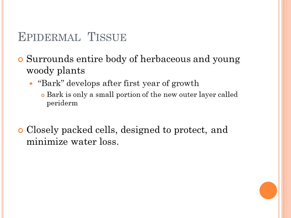 E PIDERMAL T ISSUE Surrounds entire body of herbaceous and young woody plants Bark develops after first year of growth Bark is only a small portion of the new outer layer called periderm Closely packed cells, designed to protect, and minimize water loss.