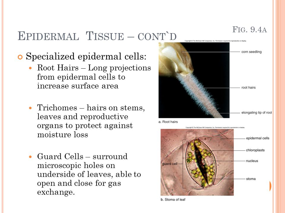 E PIDERMAL T ISSUE – CONT ` D Specialized epidermal cells: Root Hairs – Long projections from epidermal cells to increase surface area Trichomes – hairs on stems, leaves and reproductive organs to protect against moisture loss Guard Cells – surround microscopic holes on underside of leaves, able to open and close for gas exchange.