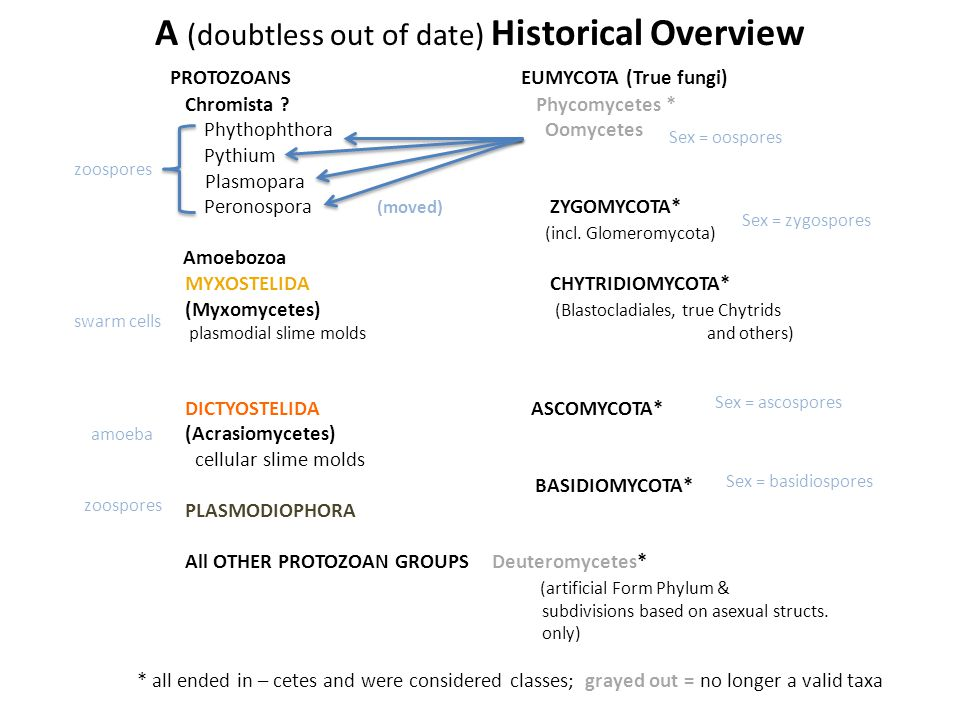 A (doubtless out of date) Historical Overview PROTOZOANSEUMYCOTA (True fungi) Chromista .