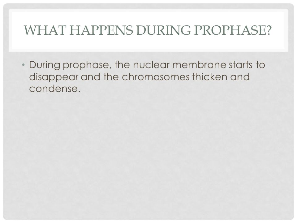 During prophase, the nuclear membrane starts to disappear and the chromosomes thicken and condense.