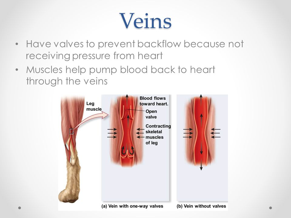 Veins Have valves to prevent backflow because not receiving pressure from heart Muscles help pump blood back to heart through the veins