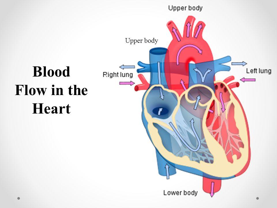 Blood Flow in the Heart Upper body