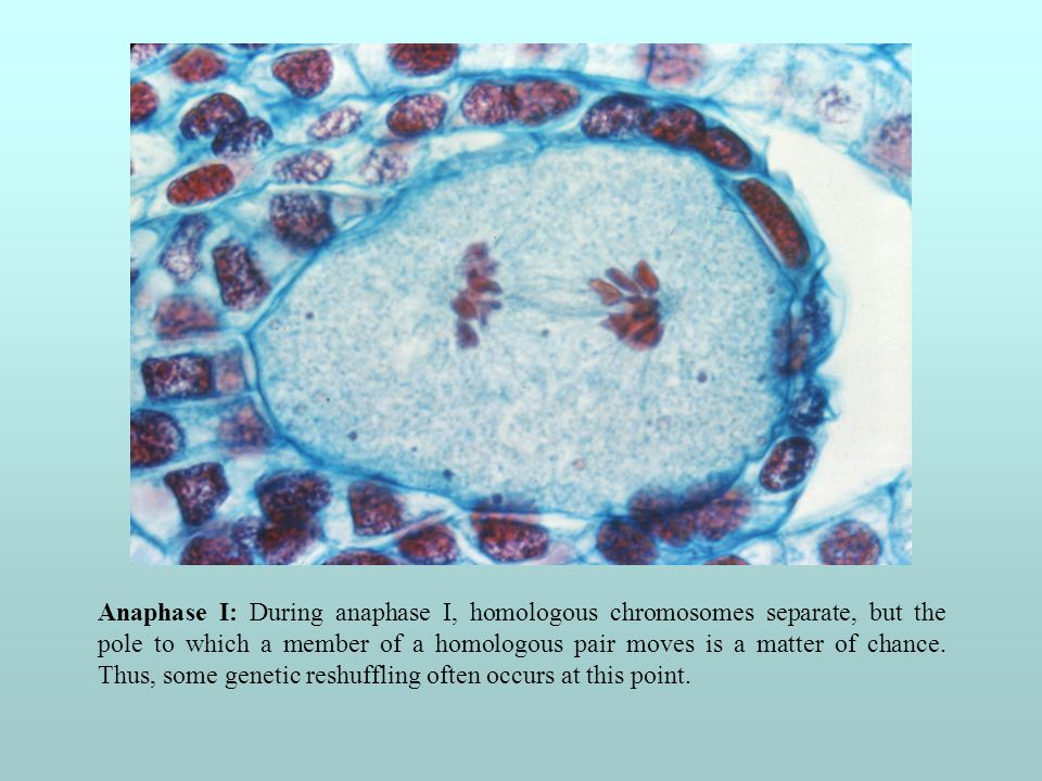 Anaphase I: During anaphase I, homologous chromosomes separate, but the pole to which a member of a homologous pair moves is a matter of chance. Thus,