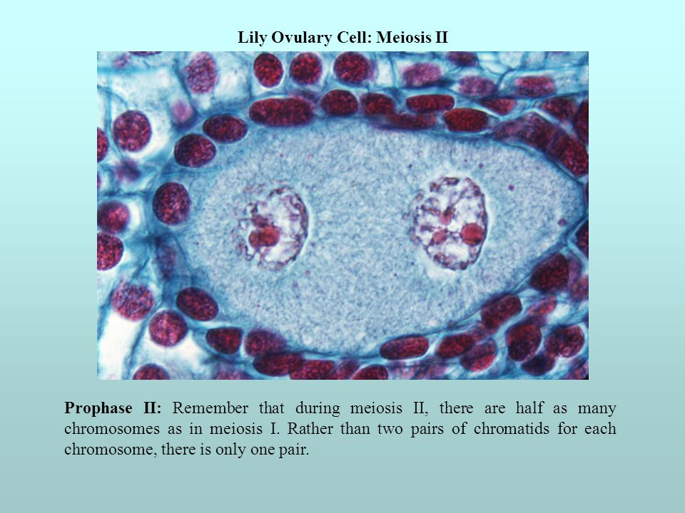 Prophase II: Remember that during meiosis II, there are half as many chromosomes as in meiosis I. Rather than two pairs of chromatids for each chromos