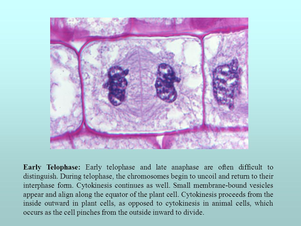 Intermediate Stage of Telophase: A nuclear membrane begins to form around each set of chromosomes.