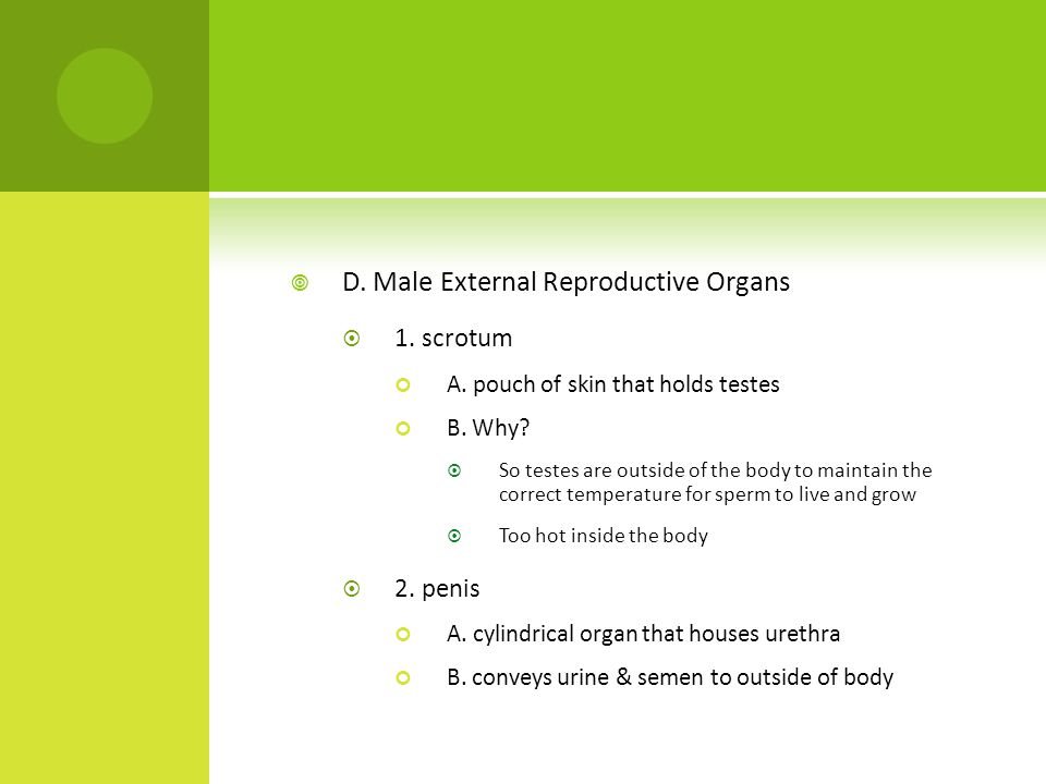  D. Male External Reproductive Organs  1. scrotum A.