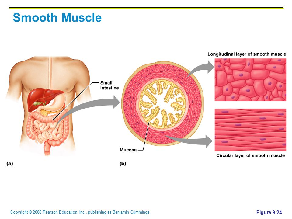 Copyright © 2006 Pearson Education, Inc., publishing as Benjamin Cummings Smooth Muscle Figure 9.24