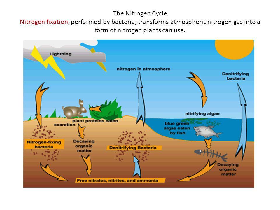 The Nitrogen Cycle Nitrogen fixation, performed by bacteria, transforms atmospheric nitrogen gas into a form of nitrogen plants can use.