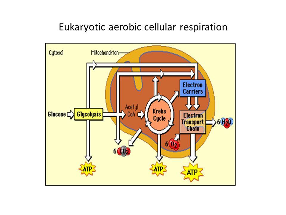 Eukaryotic aerobic cellular respiration
