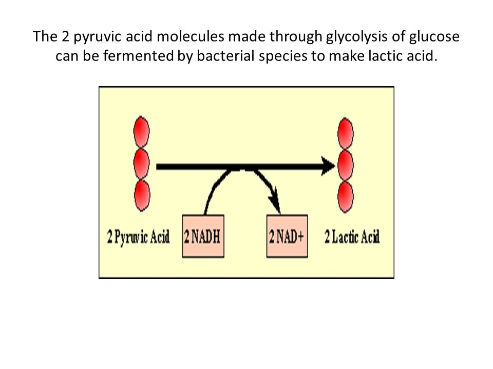 The 2 pyruvic acid molecules made through glycolysis of glucose can be fermented by bacterial species to make lactic acid.