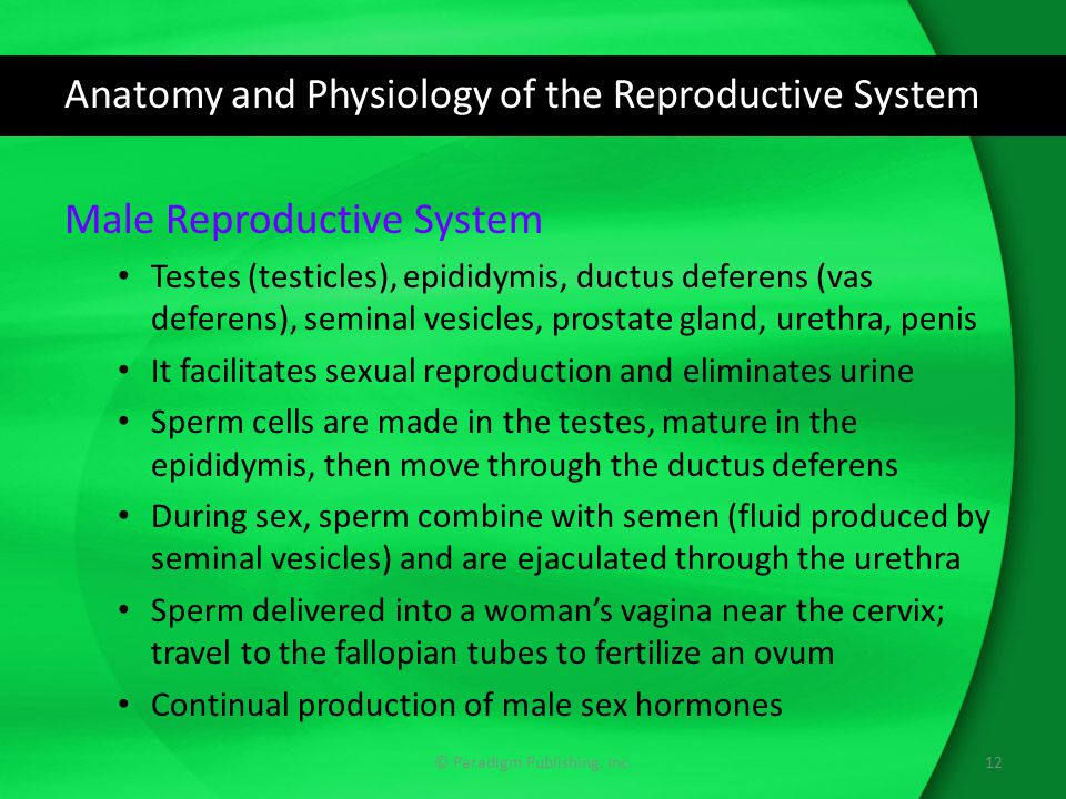 Anatomy and Physiology of the Reproductive System Male Reproductive System Testes (testicles), epididymis, ductus deferens (vas deferens), seminal ves