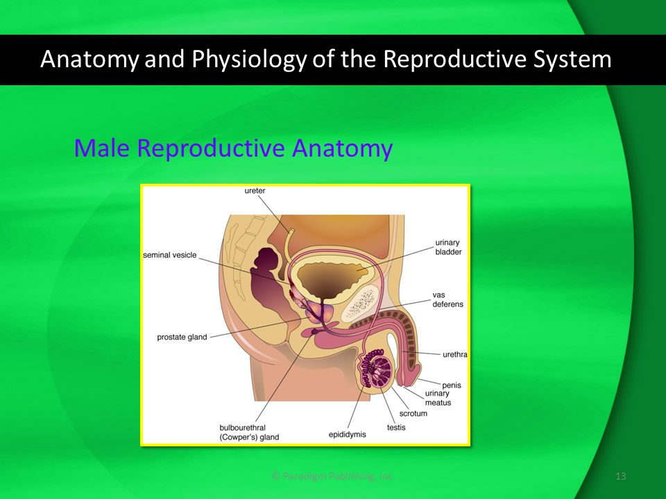 Anatomy and Physiology of the Reproductive System © Paradigm Publishing, Inc.13 Male Reproductive Anatomy