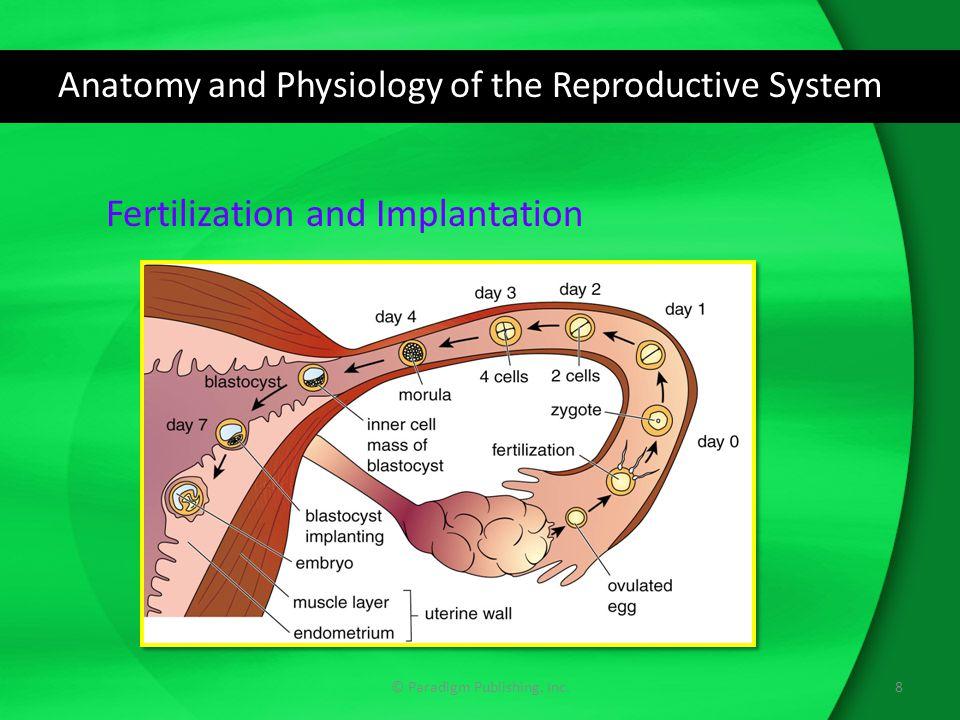 Anatomy and Physiology of the Reproductive System © Paradigm Publishing, Inc.8 Fertilization and Implantation