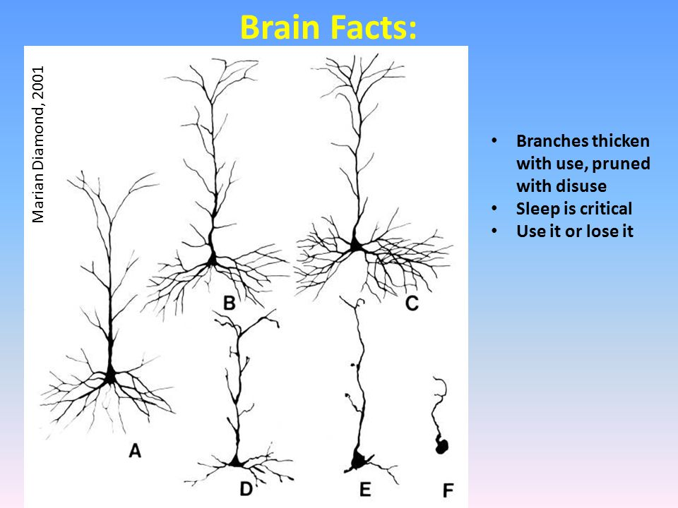 Marian Diamond, 2001 Brain Facts: Branches thicken with use, pruned with disuse Sleep is critical Use it or lose it