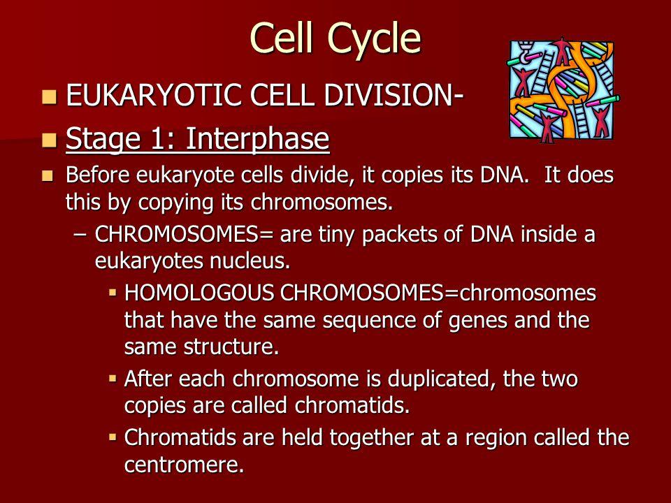 Cell Cycle EUKARYOTIC CELL DIVISION- EUKARYOTIC CELL DIVISION- Stage 1: Interphase Stage 1: Interphase Before eukaryote cells divide, it copies its DNA.