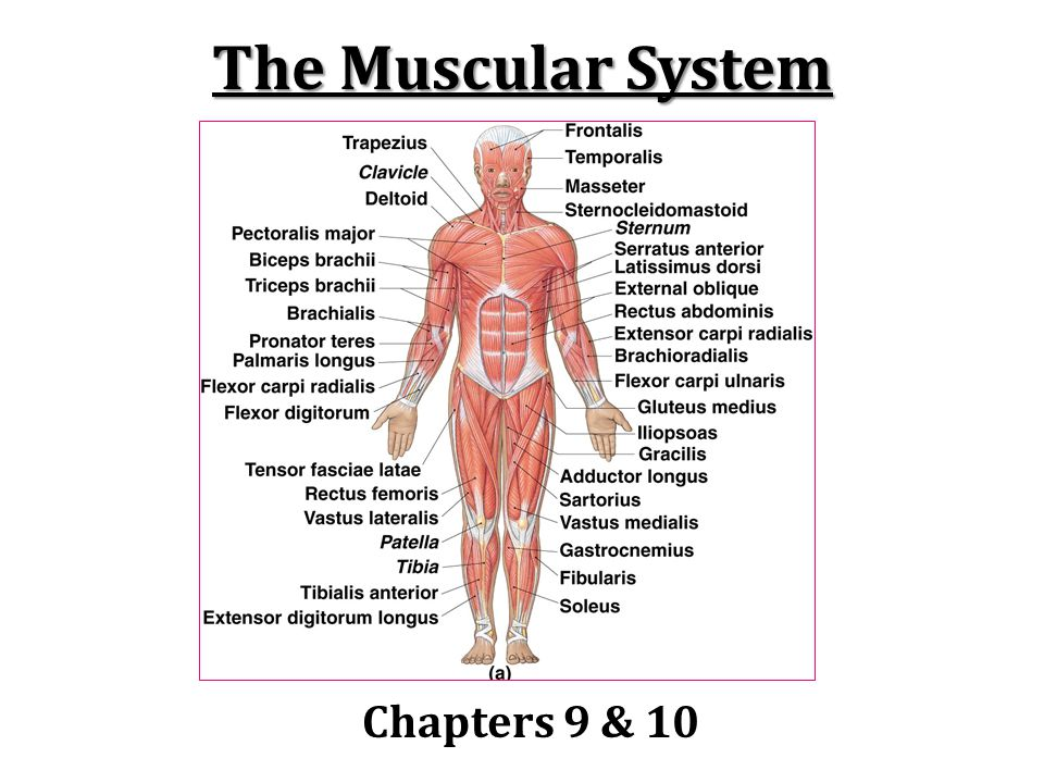 Naming Skeletal Muscles Multiple descriptive criteria can be used to name muscles: Location of the muscle: ex) temporalis, intercostal Shape of the muscle: ex) deltoid (triangle), trapezius Relative size of the muscle: ex) maximus, minimus, longus, brevis Direction of muscle fibers: ex) rectus, transversus, oblique Number of origins: ex) biccep, tricep, quadricep Location of attachments: ex) sternocleoidalmastoid Action: ex) flexor, extensor, adductor