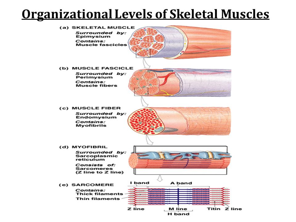 Organizational Levels of Skeletal Muscles