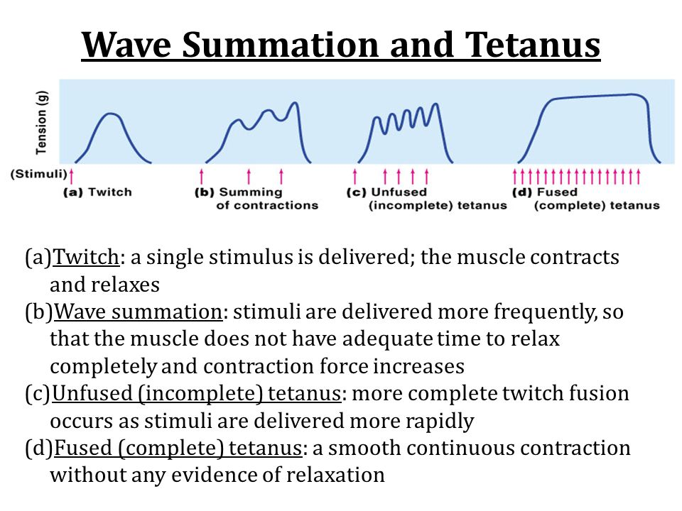 Wave Summation and Tetanus (a)Twitch: a single stimulus is delivered; the muscle contracts and relaxes (b)Wave summation: stimuli are delivered more f