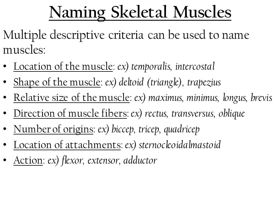 Naming Skeletal Muscles Multiple descriptive criteria can be used to name muscles: Location of the muscle: ex) temporalis, intercostal Shape of the mu