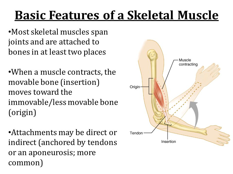 Skeletal Muscle Interaction in the Body Body muscles work either together or in opposition to achieve wide variety of motion Muscles can only pull, never push.
