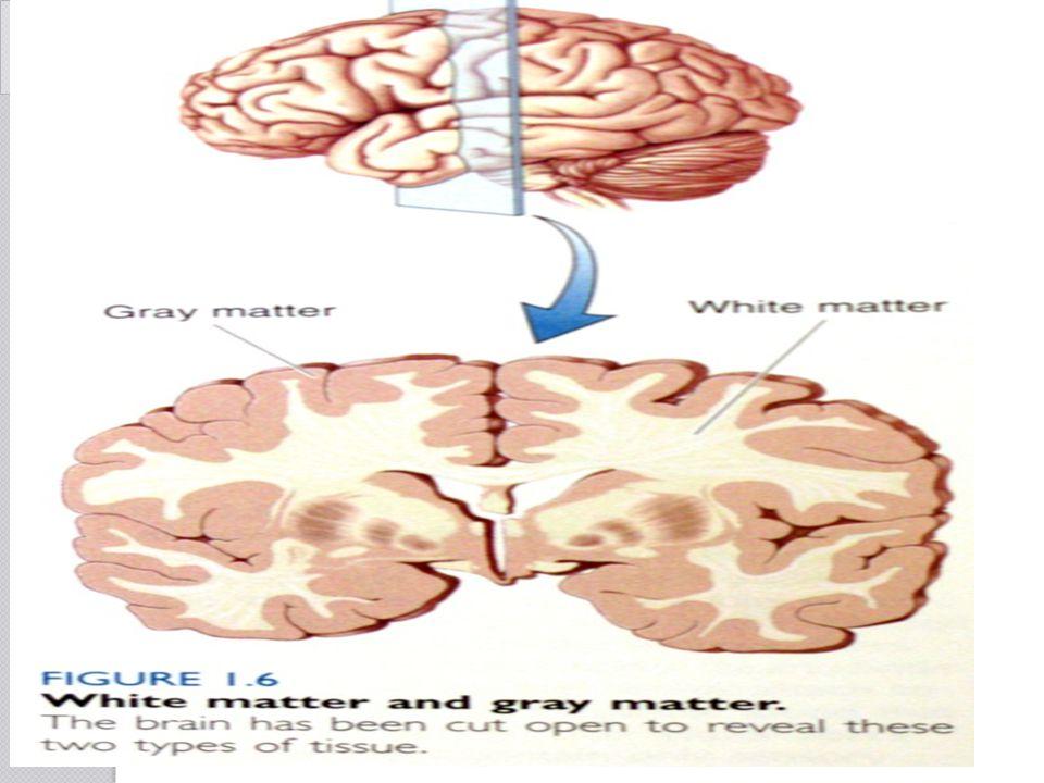 The Brain SfN's Brain Facts A B C D E F G J I H K
